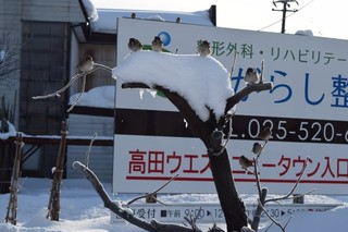 18.01.20寒さに震える雀達.JPG