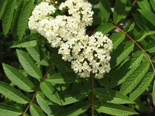 20.06.25ナナカマドの花.jpg